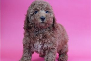 Rosemary - Poodle, Miniature for sale
