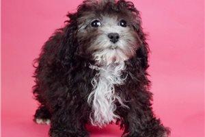 Oreo - Poodle, Miniature for sale