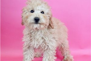 Charlie - Poodle, Miniature for sale