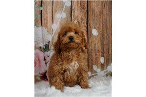 Fran - Poodle, Miniature for sale