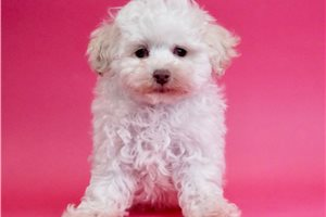 Glitter - Poodle, Miniature for sale