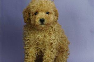 Pheobe - Poodle, Miniature for sale