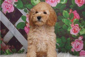 Boki - Poodle, Miniature for sale