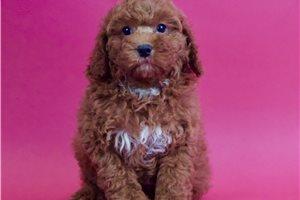 Bowser - Poodle, Miniature for sale