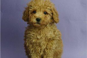 Summer - Poodle, Miniature for sale