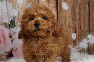 Champ - Poodle, Miniature for sale