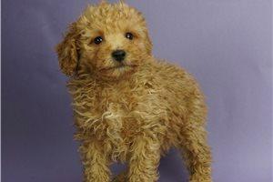 Blondie - Poodle, Miniature for sale