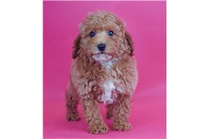 Dreamer - Poodle, Toy for sale