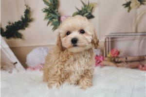 Vin - Poodle, Toy for sale