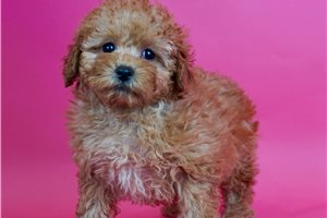 Babydoll - Poodle, Toy for sale