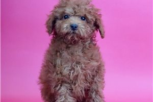 Red - Poodle, Toy for sale