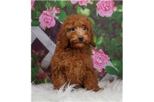 Rogue - Poodle, Toy for sale