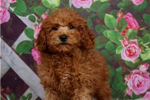Ralph - Poodle, Toy for sale