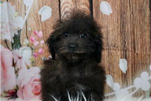 Beans - Poodle, Toy for sale
