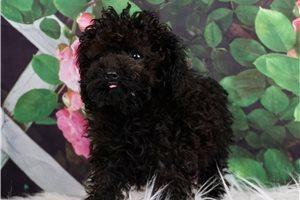 Teacup Morgan - Poodle, Toy for sale