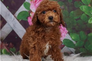 Stella - Poodle, Toy for sale