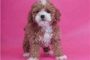 Reba - Poodle, Toy for sale