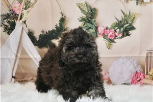 Smoke - Poodle, Toy for sale