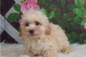 Snugs - Poodle, Toy for sale