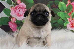 AKC CH Wilma - Pug for sale