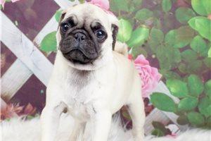NaNa - Pug for sale