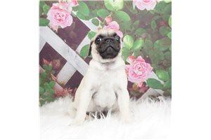 Frank - Pug for sale