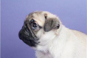 Puggles - Pug for sale