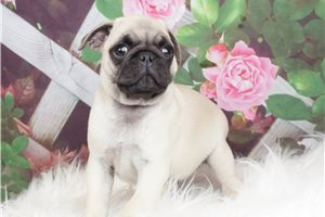 Fred - Pug for sale