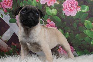 McLove - Pug for sale