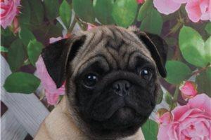 Flashy - Pug for sale