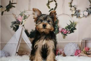 Mogley - Yorkshire Terrier - Yorkie for sale
