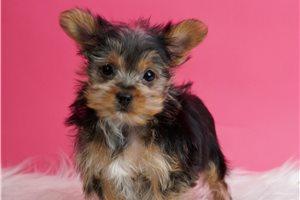 Quinn - Yorkshire Terrier - Yorkie for sale