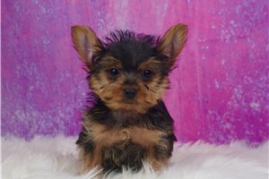 Woody - Yorkshire Terrier - Yorkie for sale