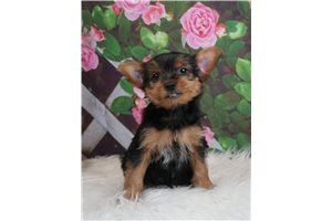 Jake - Yorkshire Terrier - Yorkie for sale