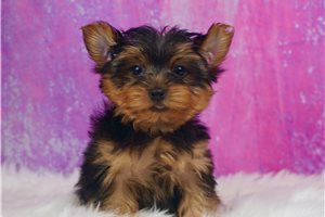 Cali - Yorkshire Terrier - Yorkie for sale