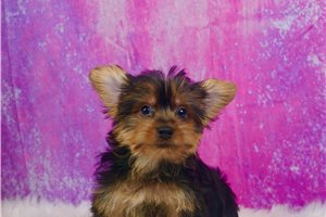 Avril - Yorkshire Terrier - Yorkie for sale