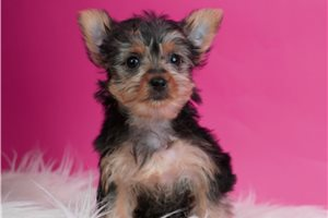 Ritzy - Yorkshire Terrier - Yorkie for sale