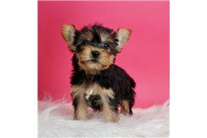 Jazz - Yorkshire Terrier - Yorkie for sale