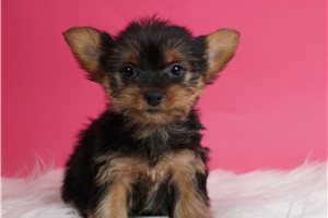 Mint - Yorkshire Terrier - Yorkie for sale