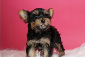 Dillon - Yorkshire Terrier - Yorkie for sale