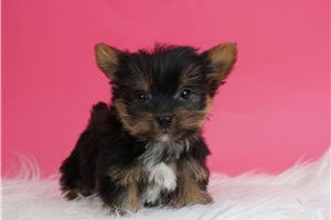 Itsy - Yorkshire Terrier - Yorkie for sale