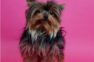 Dianca - Yorkshire Terrier - Yorkie for sale