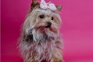 Skittles - Yorkshire Terrier - Yorkie for sale