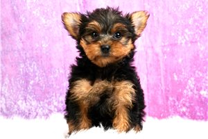 Wilma - Yorkshire Terrier - Yorkie for sale