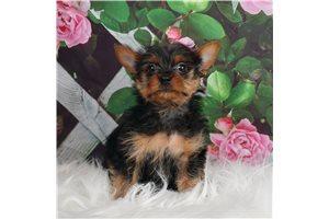 AKC Flynn - Yorkshire Terrier - Yorkie for sale