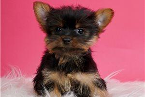 Leelo - Yorkshire Terrier - Yorkie for sale