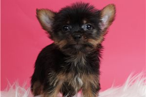 Fifi - Yorkshire Terrier - Yorkie for sale