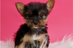 Sweets - Yorkshire Terrier - Yorkie for sale