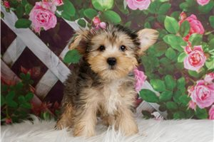 Ice - Yorkshire Terrier - Yorkie for sale
