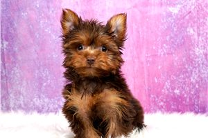 Petunia - Yorkshire Terrier - Yorkie for sale